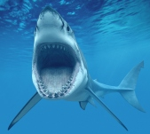 Woodridge, IL, USA --- Great White Shark Opening Mouth --- Image by © Denis Scott/Corbis